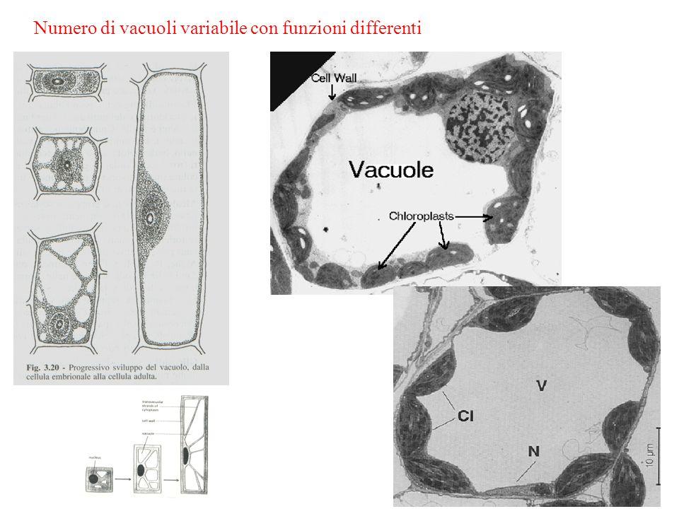 Numero di vacuoli variabile con funzioni differenti