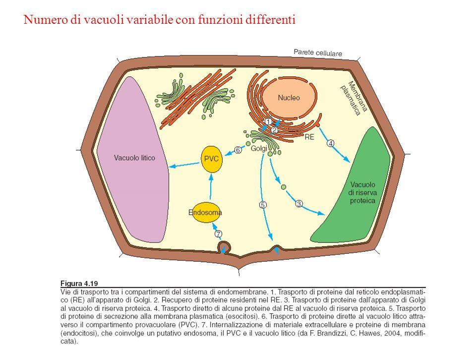 Vacuolo: puo essere considerato come una componente del sistema di endomembrane cellulari Origine del vacuolo