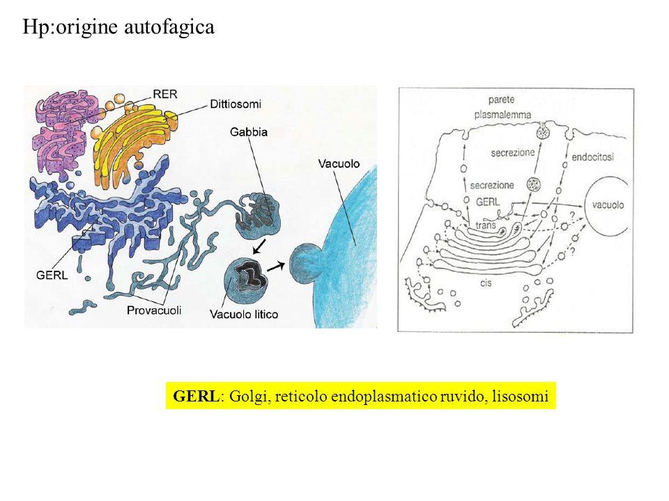 Hp:origine autofagica GERL PROVACUOLI VACUOLI GERL: Golgi, reticolo endoplasmatico ruvido, lisosomi