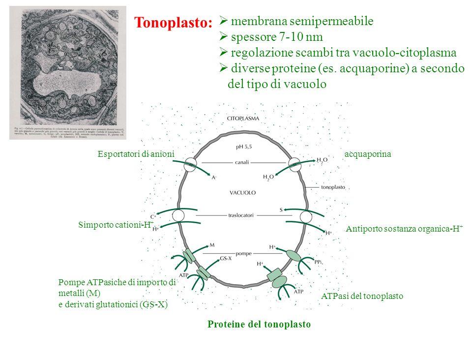membrana semipermeabile spessore 7-10 nm regolazione scambi tra vacuolo-citoplasma diverse proteine (es. acquaporine) a secondo del tipo di vacuolo Pr