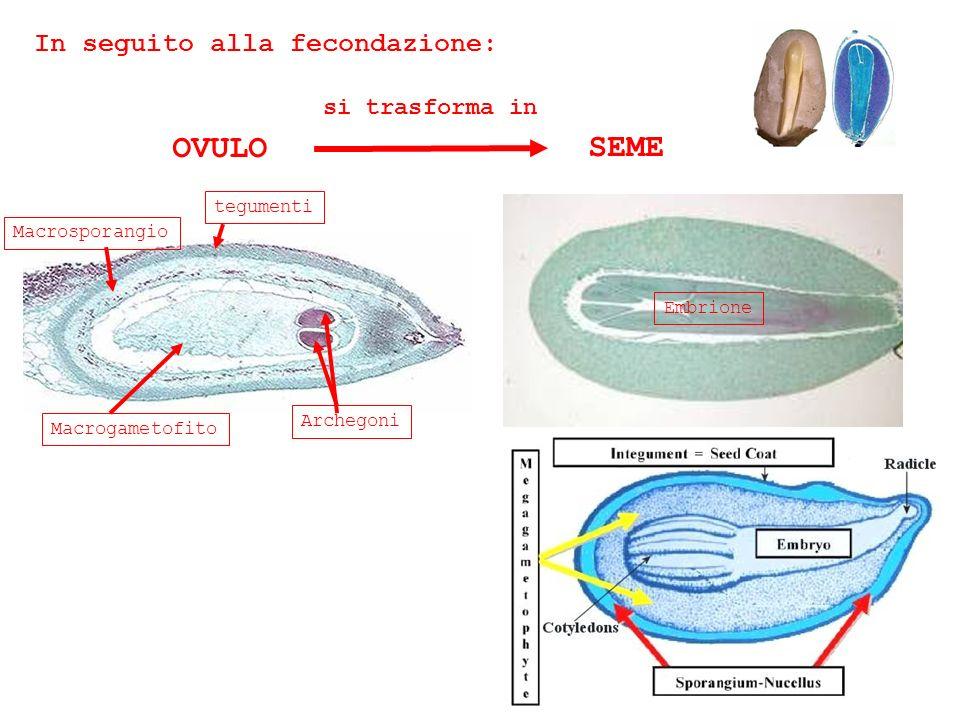 In seguito alla fecondazione: OVULO si trasforma in SEME Macrogametofito Macrosporangio tegumenti Archegoni Embrione