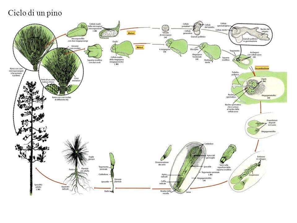 Ciclo di un pino