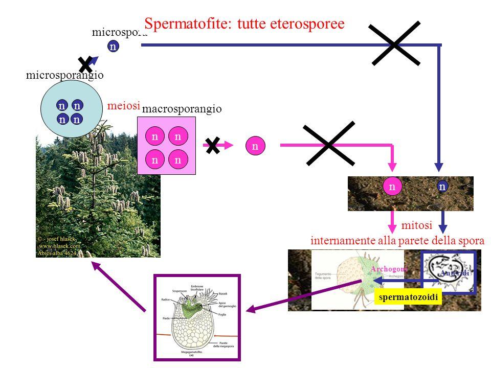Origine dellOVULO In piante progenitrici delle Gimnosperme: MACROSPORANGIO viene avvolto DA DUE TEGUMENTI Diverse Hp di origine: MICROPILO TEGUMENTI MEGASPORANGIO (NUCELLA) CELLULA MADRE MEIOSPORE (sullo sporofito) OVULO