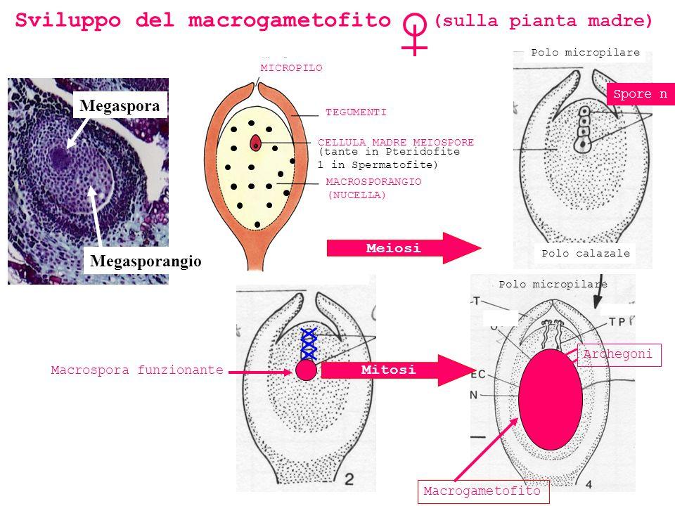 Polo micropilare Mitosi Macrogametofito Macrospora funzionante Spore n Archegoni Sviluppo del macrogametofito (sulla pianta madre) MICROPILO TEGUMENTI MACROSPORANGIO (NUCELLA) CELLULA MADRE MEIOSPORE (tante in Pteridofite 1 in Spermatofite) Polo micropilare Polo calazale Megaspora Megasporangio Meiosi