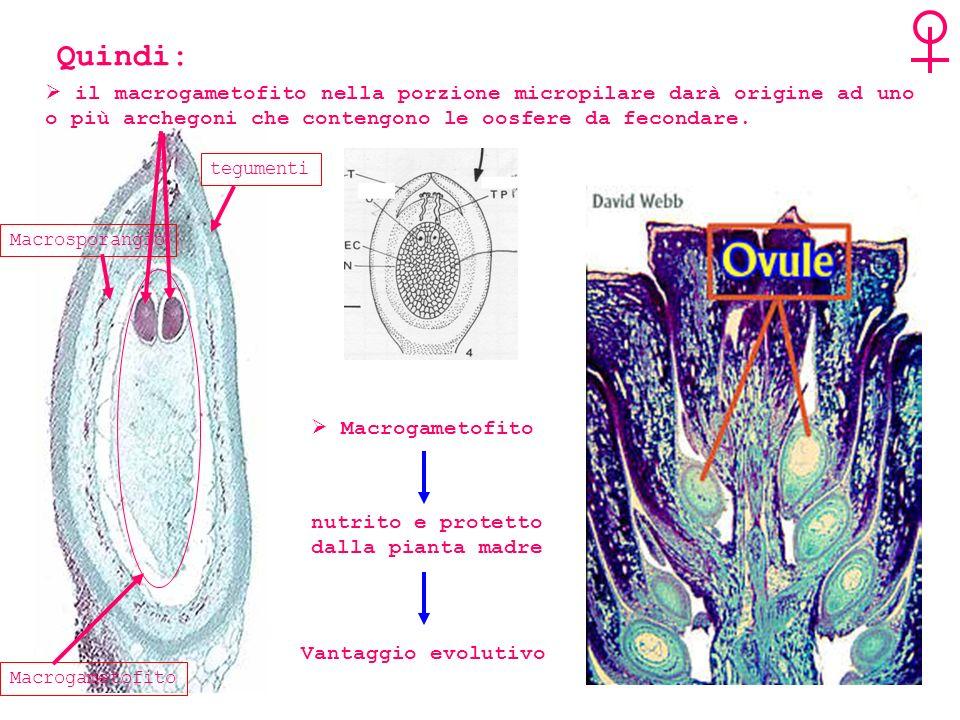 Quindi: il macrogametofito nella porzione micropilare darà origine ad uno o più archegoni che contengono le oosfere da fecondare.