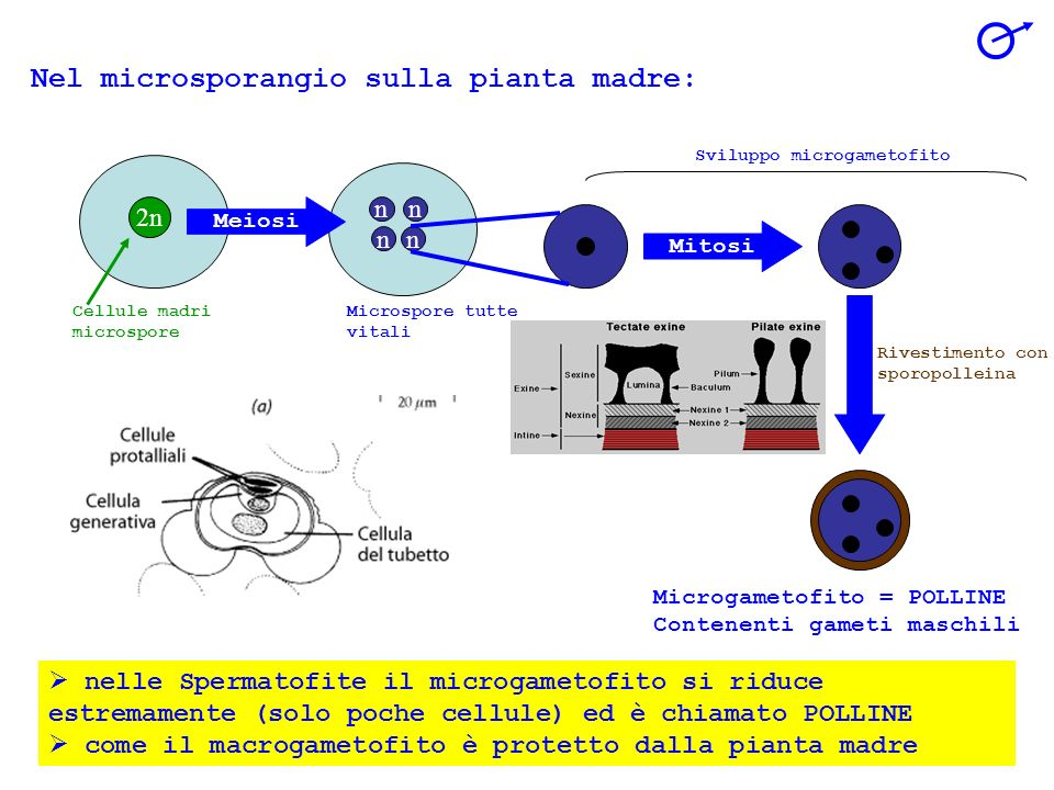 nelle Spermatofite il microgametofito si riduce estremamente (solo poche cellule) ed è chiamato POLLINE come il macrogametofito è protetto dalla pianta madre 2n Cellule madri microspore Nel microsporangio sulla pianta madre: nn n n Meiosi Microspore tutte vitali Mitosi Sviluppo microgametofito Rivestimento con sporopolleina Microgametofito = POLLINE Contenenti gameti maschili