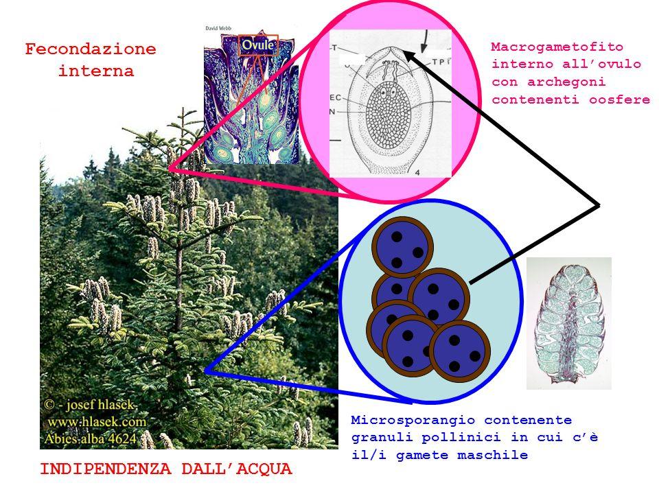 Microsporangio contenente granuli pollinici in cui cè il/i gamete maschile Macrogametofito interno allovulo con archegoni contenenti oosfere INDIPENDENZA DALLACQUA Fecondazione interna