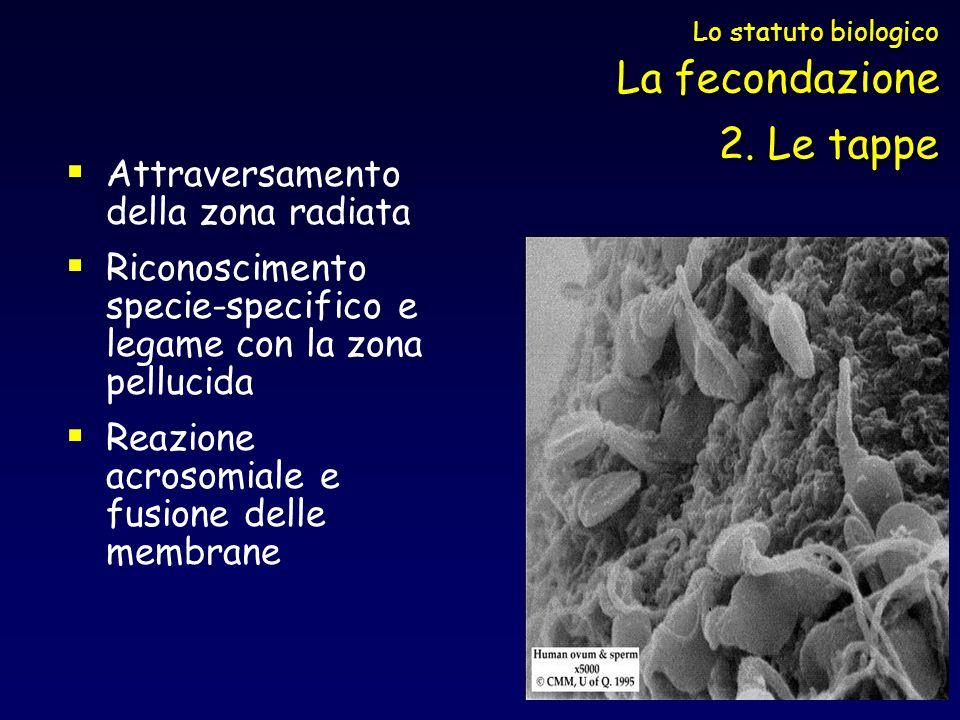 Attraversamento della zona radiata Riconoscimento specie-specifico e legame con la zona pellucida Reazione acrosomiale e fusione delle membrane Lo sta
