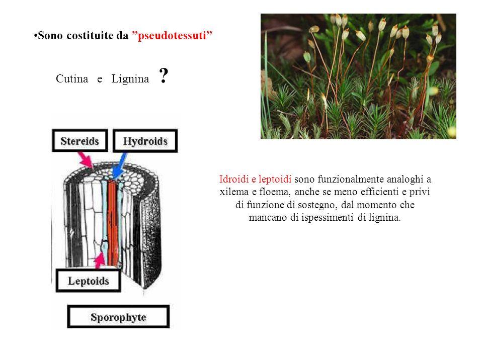 Sono costituite da pseudotessuti Idroidi e leptoidi sono funzionalmente analoghi a xilema e floema, anche se meno efficienti e privi di funzione di so