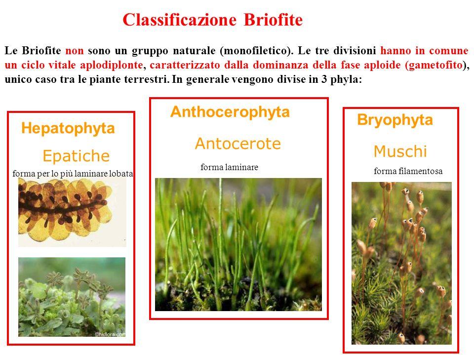 Le Briofite non sono un gruppo naturale (monofiletico). Le tre divisioni hanno in comune un ciclo vitale aplodiplonte, caratterizzato dalla dominanza