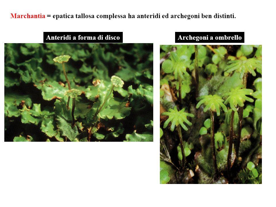 Marchantia = epatica tallosa complessa ha anteridi ed archegoni ben distinti. Anteridi a forma di discoArchegoni a ombrello