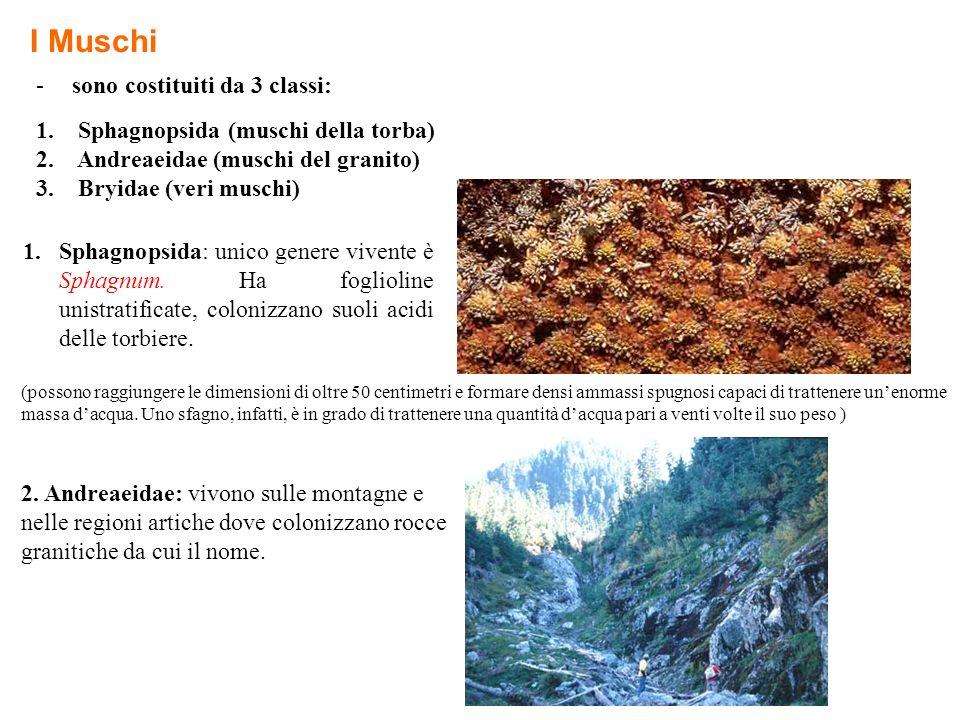 I Muschi -sono costituiti da 3 classi: 1. Sphagnopsida (muschi della torba) 2. Andreaeidae (muschi del granito) 3. Bryidae (veri muschi) 1.Sphagnopsid