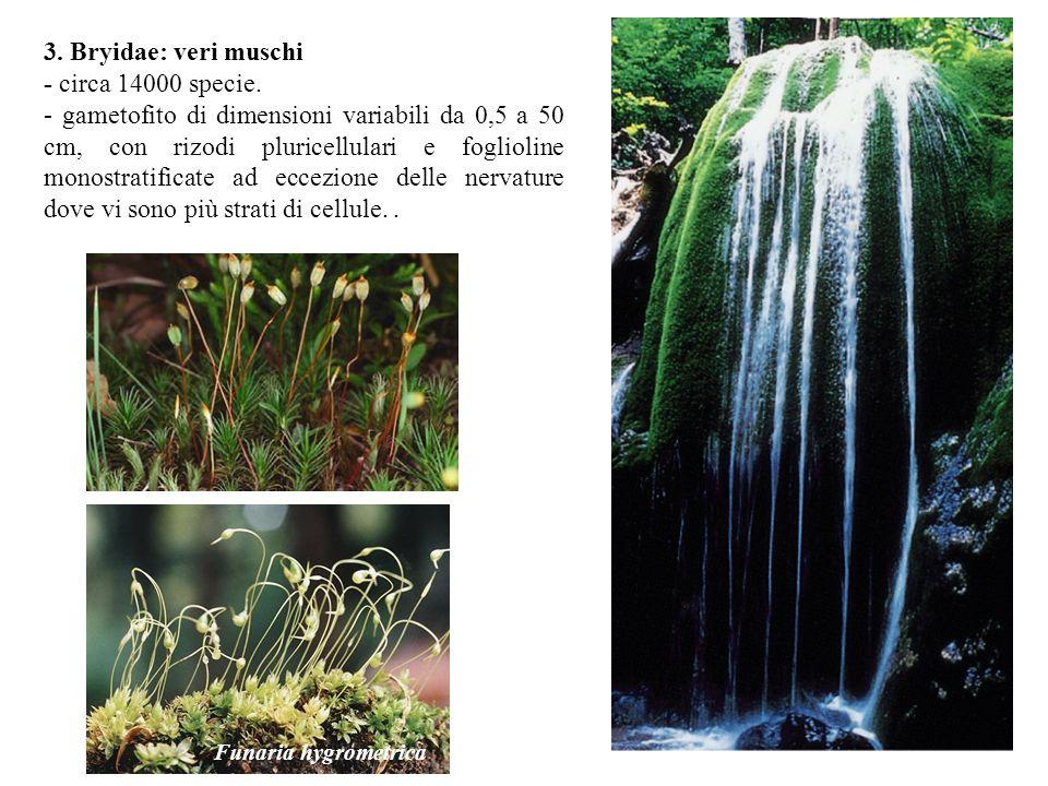 3. Bryidae: veri muschi - circa 14000 specie. - gametofito di dimensioni variabili da 0,5 a 50 cm, con rizodi pluricellulari e foglioline monostratifi