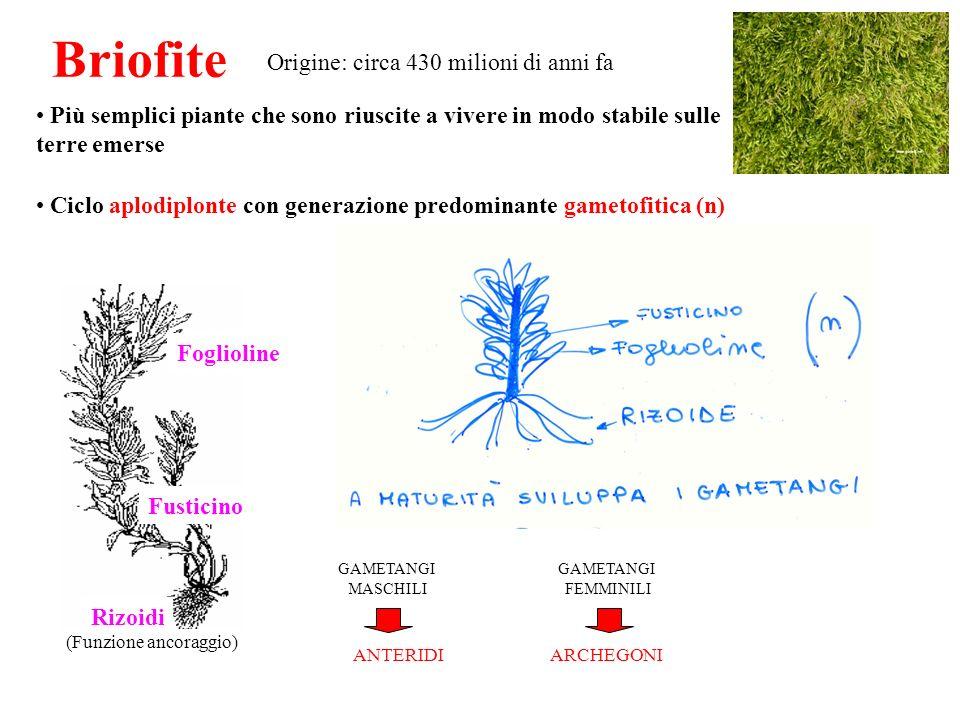 (Funzione ancoraggio) Briofite Più semplici piante che sono riuscite a vivere in modo stabile sulle terre emerse Ciclo aplodiplonte con generazione pr