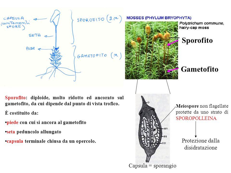 Gametofito Sporofito Capsula = sporangio Sporofito: diploide, molto ridotto ed ancorato sul gametofito, da cui dipende dal punto di vista trofico. È c
