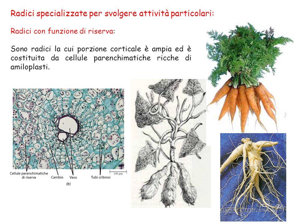 Radici specializzate per svolgere attività particolari: Radici con funzione di riserva: Sono radici la cui porzione corticale è ampia ed è costituita