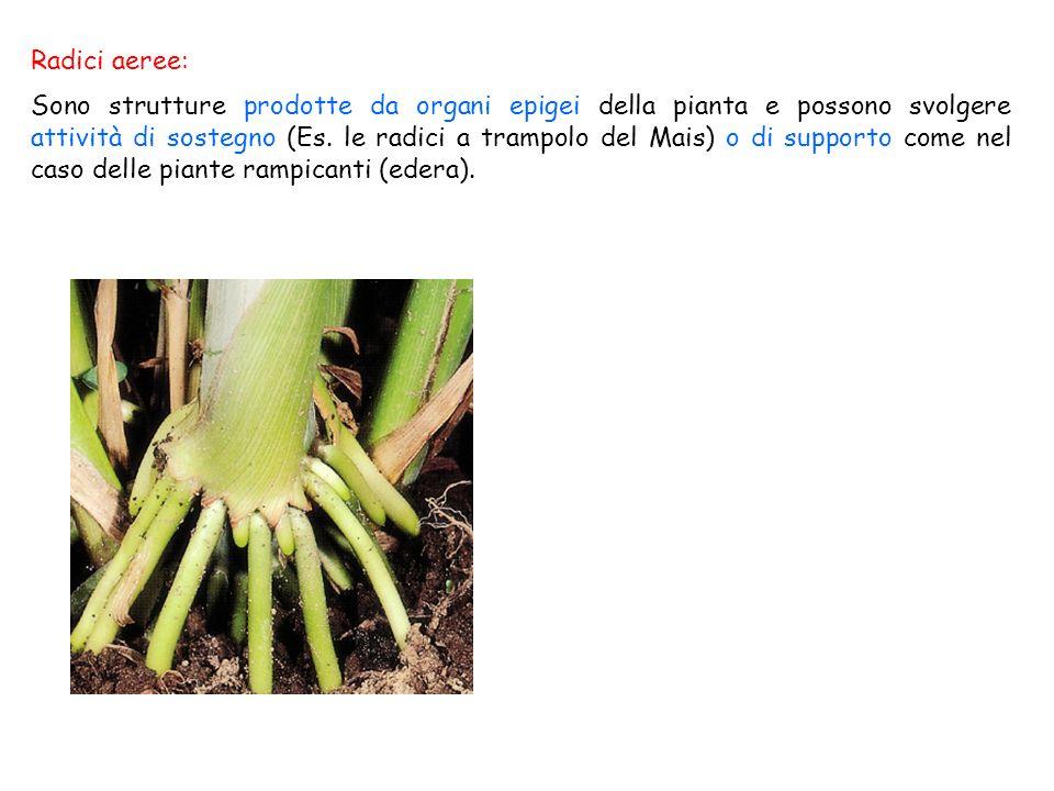 Radici aeree: Sono strutture prodotte da organi epigei della pianta e possono svolgere attività di sostegno (Es. le radici a trampolo del Mais) o di s