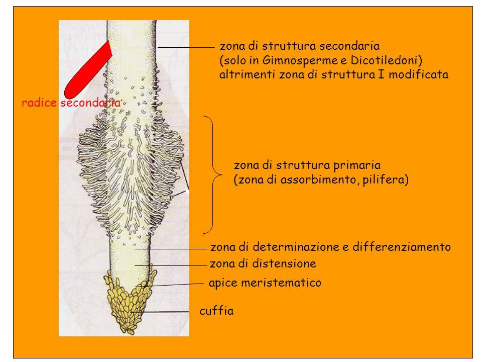 Struttura primaria Struttura primaria + struttura secondaria In tutte le piante terrestri Nelle piante con crescita secondaria (Gimnosperme e Dicotile