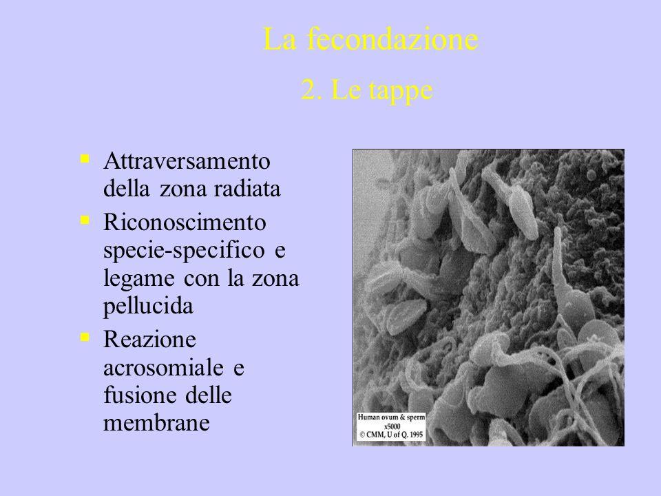 Attraversamento della zona radiata Riconoscimento specie-specifico e legame con la zona pellucida Reazione acrosomiale e fusione delle membrane La fec