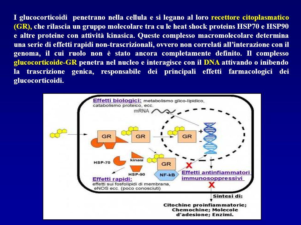 I glucocorticoidi penetrano nella cellula e si legano al loro recettore citoplasmatico (GR), che rilascia un gruppo molecolare tra cu le heat shock pr
