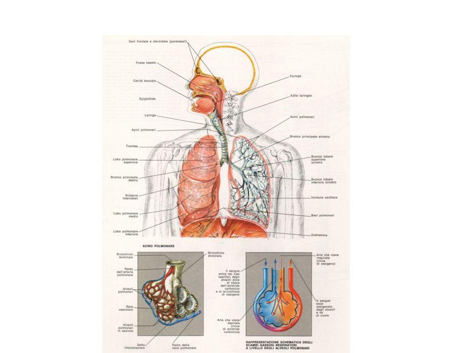 ESAMI STRUMENTALI DELLAPPARATO RESPIRATORIO Emogasanalisi arteriosa (EGA) Saturimetria Rx del torace, TAC torace, risonanza magnetica Prove di funzionalità respiratoria Test del cammino di 6 minuti Broncoscopia Toracentesi