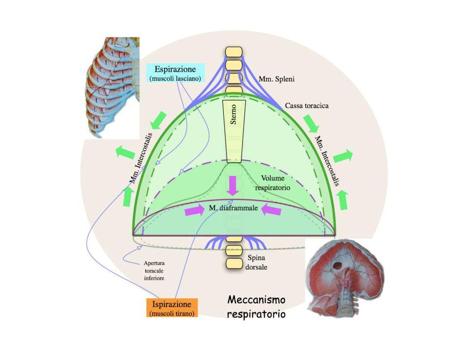 Insufficienza respiratoria ridotta tolleranza allesercizio fisico Frequenti riacutizzazioni su base infettiva Broncopneumopatia cronica ostruttiva (BPCO) Momenti fisiopatologici diversi favoriscono la progressione verso la broncopneumopatia cronica ostruttiva Contrazione muscolatura liscia bronchiale Tono colinergico (secrezione di muco, bronco-stenosi) Iperreattività bronchiale (episodi di bronco-stenosi) Bronchite cronica
