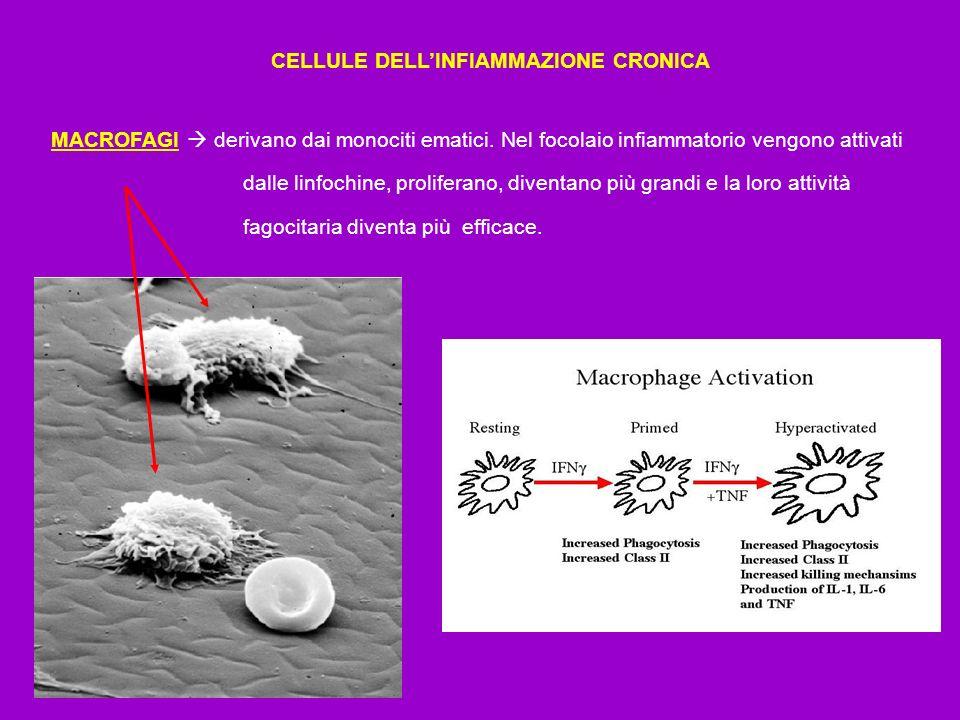 CELLULE DELLINFIAMMAZIONE CRONICA MACROFAGI derivano dai monociti ematici. Nel focolaio infiammatorio vengono attivati dalle linfochine, proliferano,
