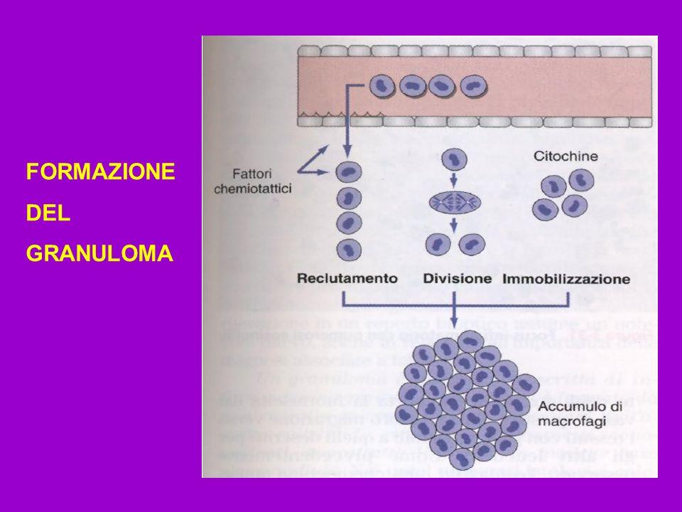 FORMAZIONE DEL GRANULOMA