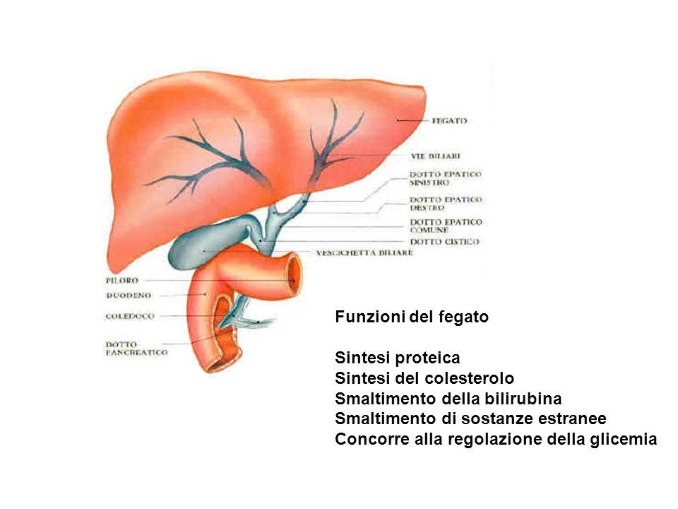 Funzioni del fegato Sintesi proteica Sintesi del colesterolo Smaltimento della bilirubina Smaltimento di sostanze estranee Concorre alla regolazione d