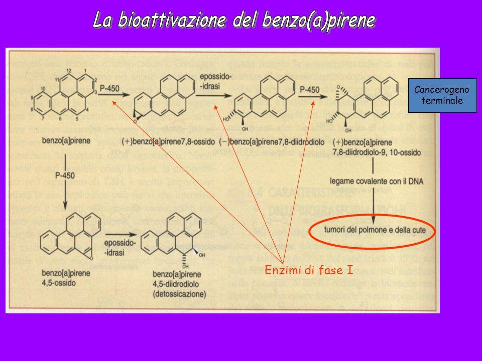 Enzimi di fase I Cancerogeno terminale