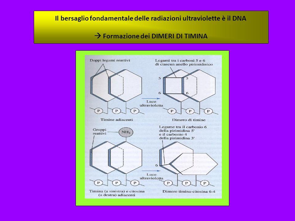 Il bersaglio fondamentale delle radiazioni ultraviolette è il DNA Formazione dei DIMERI DI TIMINA