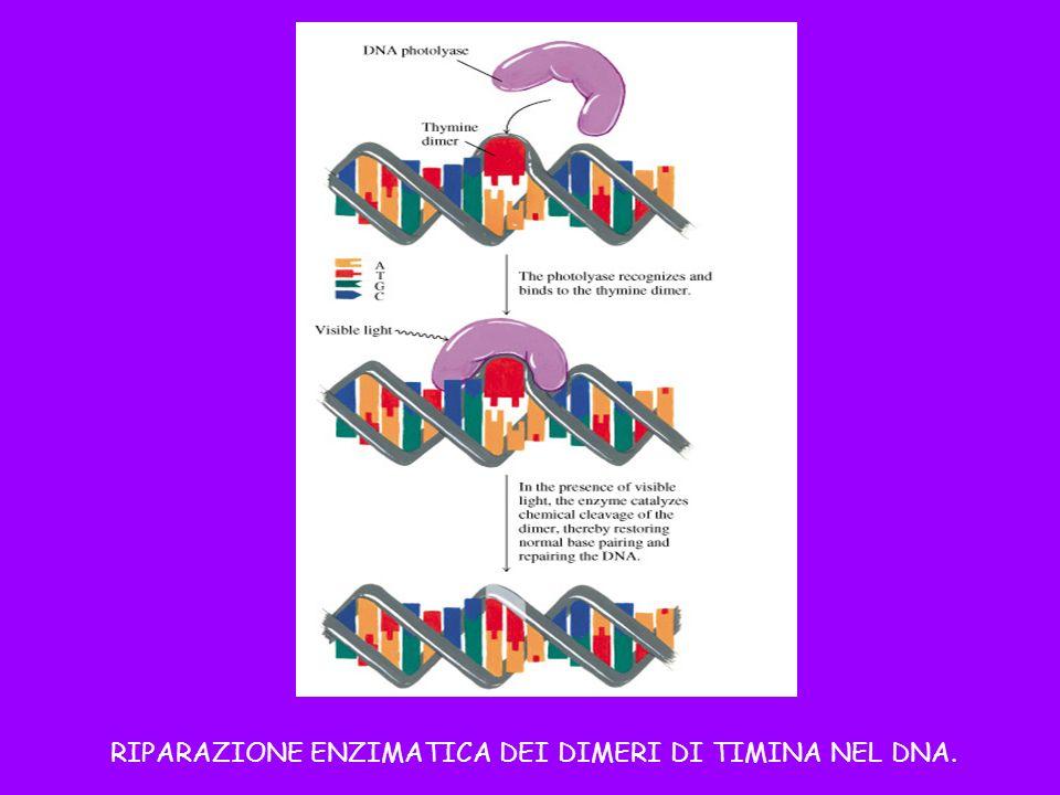 RIPARAZIONE ENZIMATICA DEI DIMERI DI TIMINA NEL DNA.