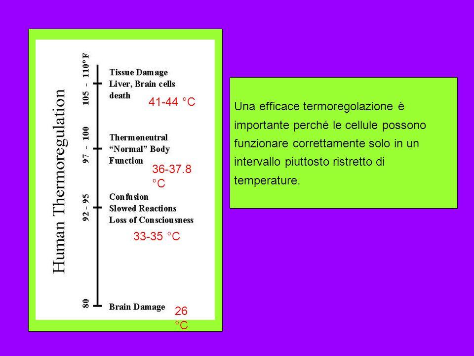 41-44 °C 36-37.8 °C 33-35 °C 26 °C Una efficace termoregolazione è importante perché le cellule possono funzionare correttamente solo in un intervallo