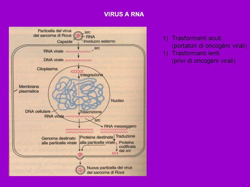 VIRUS A RNA 1)Trasformanti acuti (portatori di oncogèni virali) 1)Trasformanti lenti (privi di oncogèni virali)