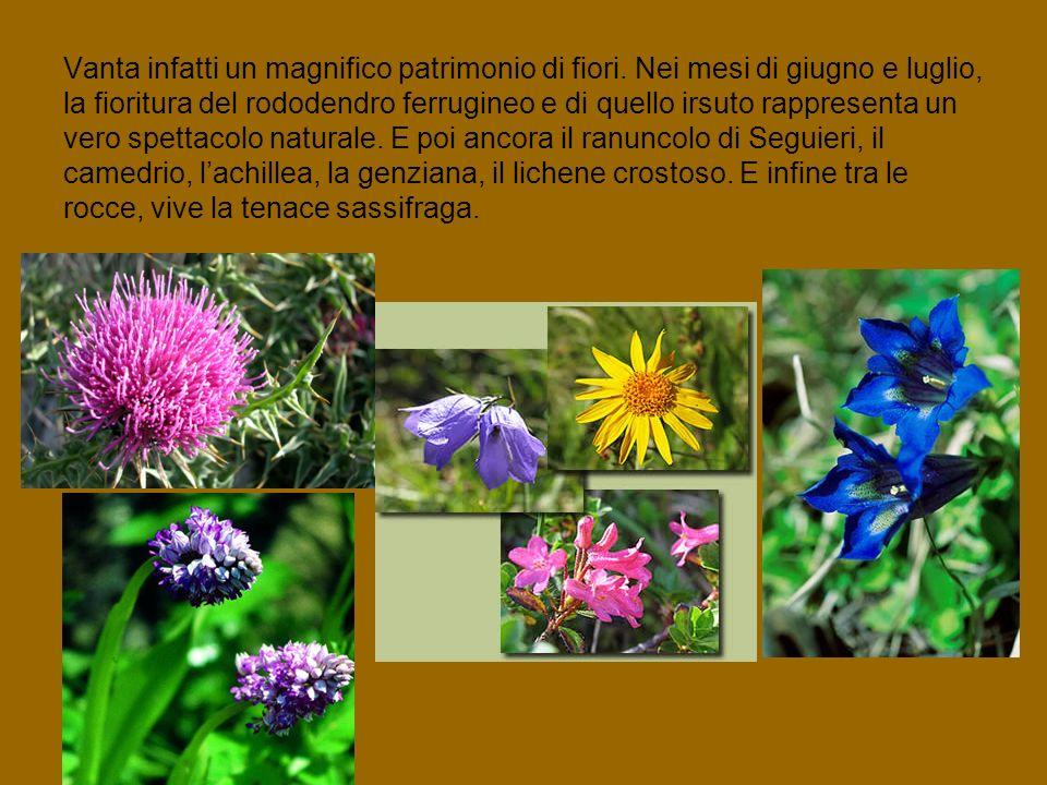 Vanta infatti un magnifico patrimonio di fiori. Nei mesi di giugno e luglio, la fioritura del rododendro ferrugineo e di quello irsuto rappresenta un