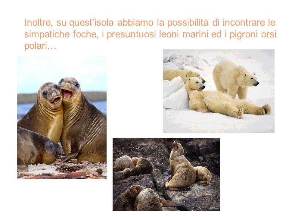 Inoltre, su questisola abbiamo la possibilità di incontrare le simpatiche foche, i presuntuosi leoni marini ed i pigroni orsi polari…