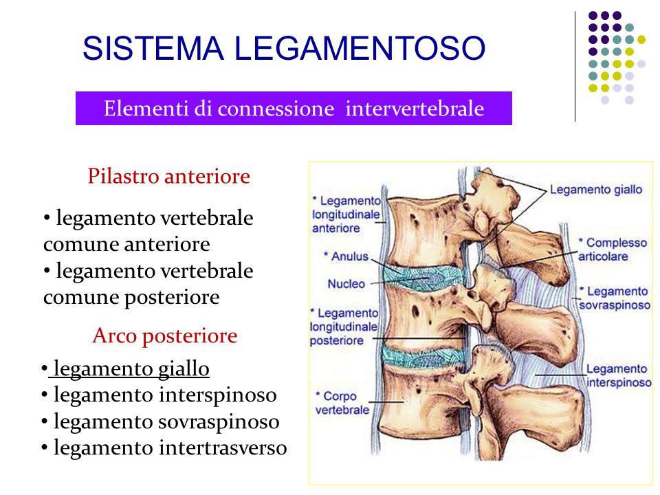 Elementi di connessione intervertebrale Pilastro anteriore legamento vertebrale comune anteriore legamento vertebrale comune posteriore Arco posterior