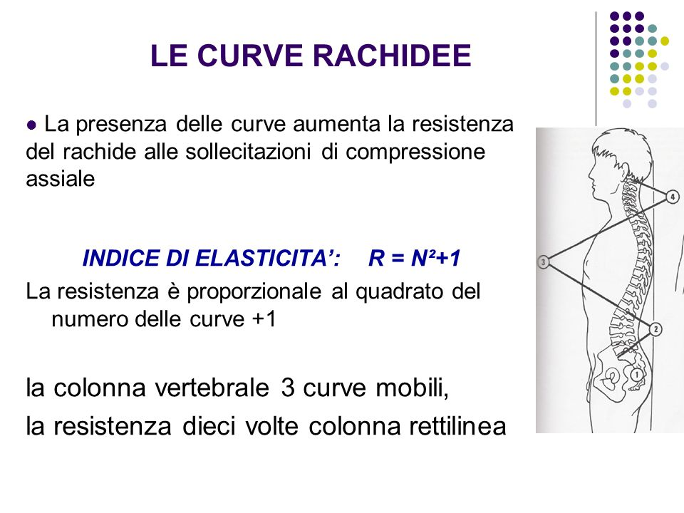 CURVE SAGITTALI FORZA COMPRESSIVA le curve aumentano resistenza meccanica indirizzando le sollecitazioni su curvatura esistente Curva toracica per minor altezza muro anteriore dorsale Curve cervicali e lombari per forma a cuneo dei dischi FORZA DISTRATTIVA Si riducono le curve cervicali e lombari non le dorsali
