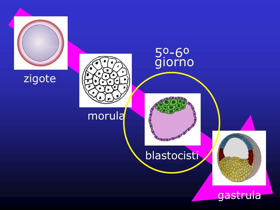 zigote morula blastocisti gastrula 5º-6º giorno