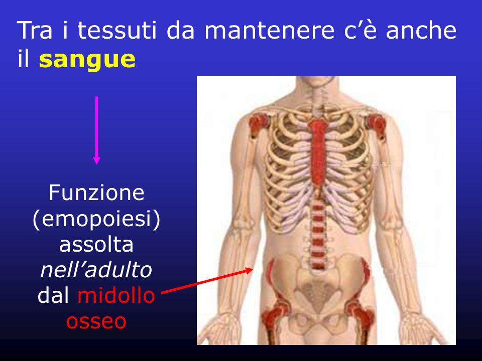 Tra i tessuti da mantenere cè anche il sangue Funzione (emopoiesi) assolta nelladulto dal midollo osseo