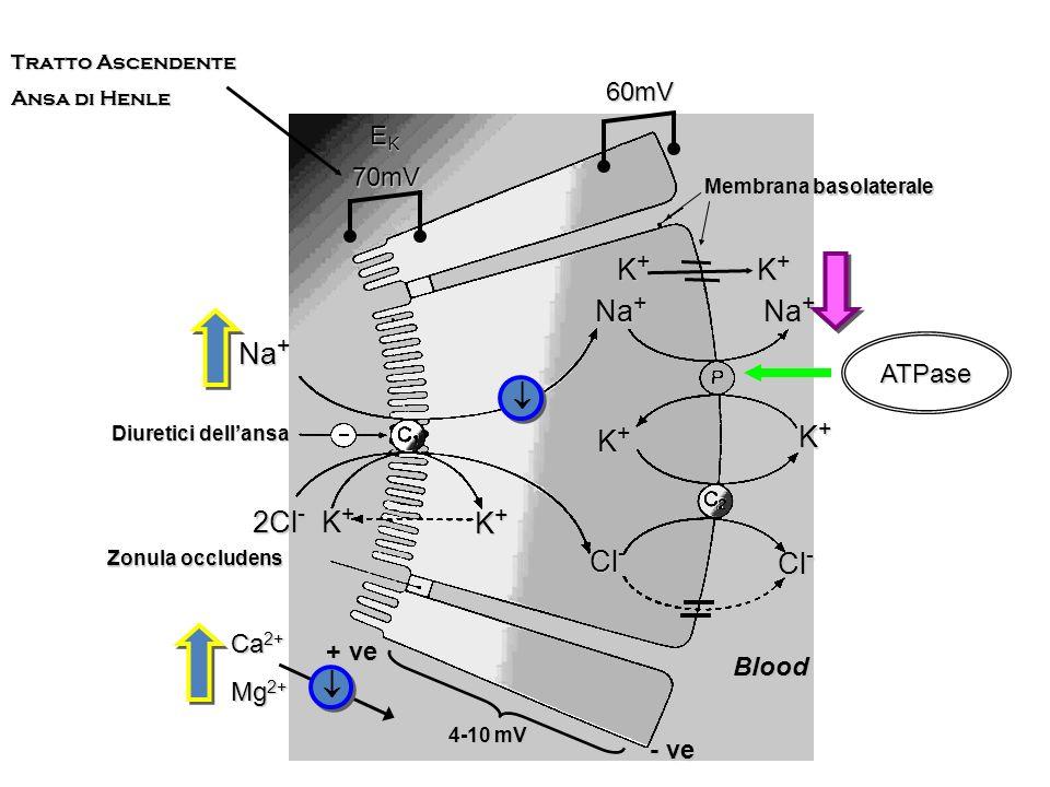 Principali processi di biotrasformazione dello spironolattone Spironolattone Detioacetilazione (80% circa della dose) Canrenone Canreonato Estere coniugato Con acido glucuronico