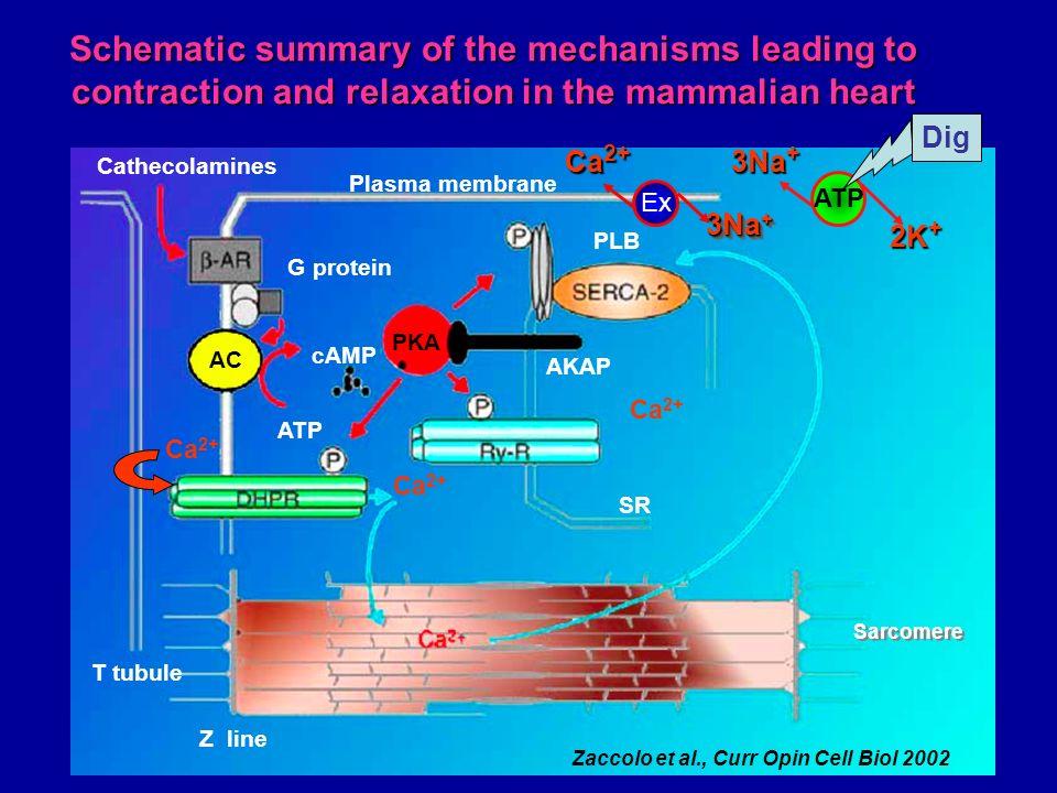 PKA AC cAMP ATP G protein Cathecolamines Ca 2+ T tubule Z line AKAP PLB SR Zaccolo et al., Curr Opin Cell Biol 2002 Plasma membrane Sarcomere Ca 2+ Sc