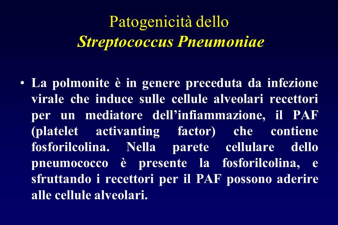 Patogenicità dello Streptococcus Pneumoniae La capsula lo rende resistente allazione dei neutrofili, la fagocitosi è possibile solo dopo la formazione