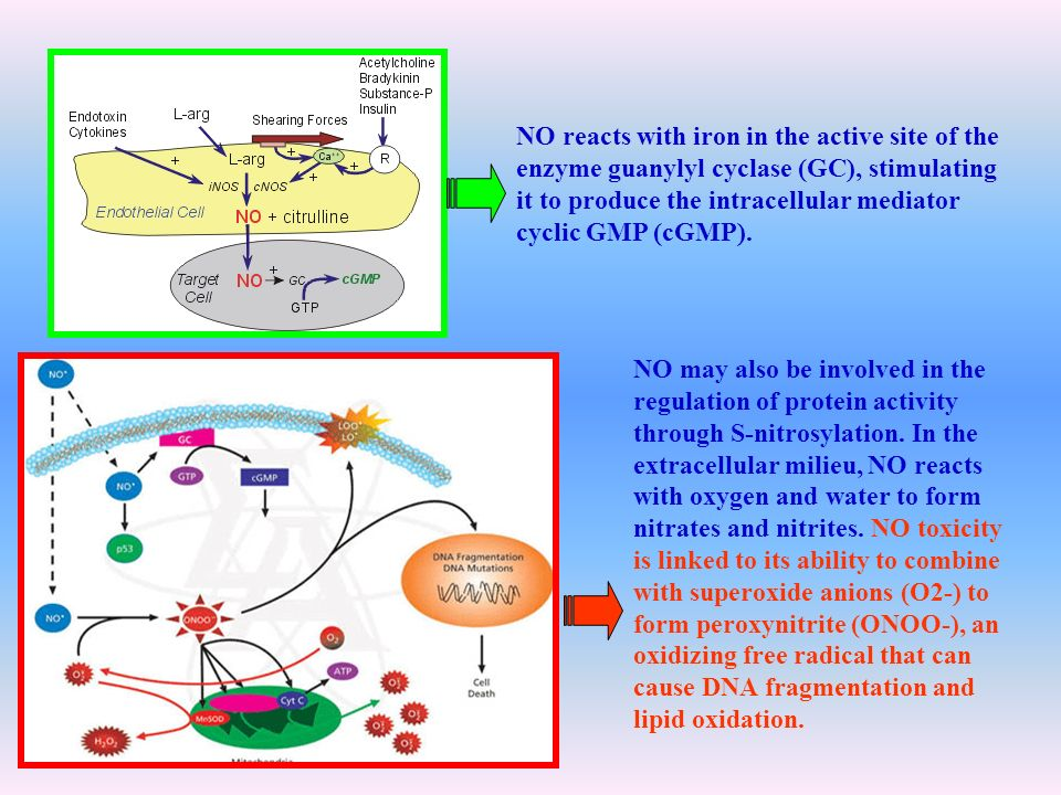 NO reacts with iron in the active site of the enzyme guanylyl cyclase (GC), stimulating it to produce the intracellular mediator cyclic GMP (cGMP). NO