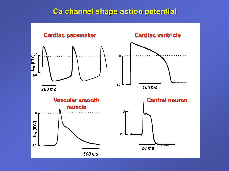 Ca channel shape action potential Cardiac pacemaker Cardiac ventricle Vascular smooth muscle Central neuron 20 ms 100 ms 500 ms 250 ms 0 30 E M (mV) 0 50 0 -80 0 -50