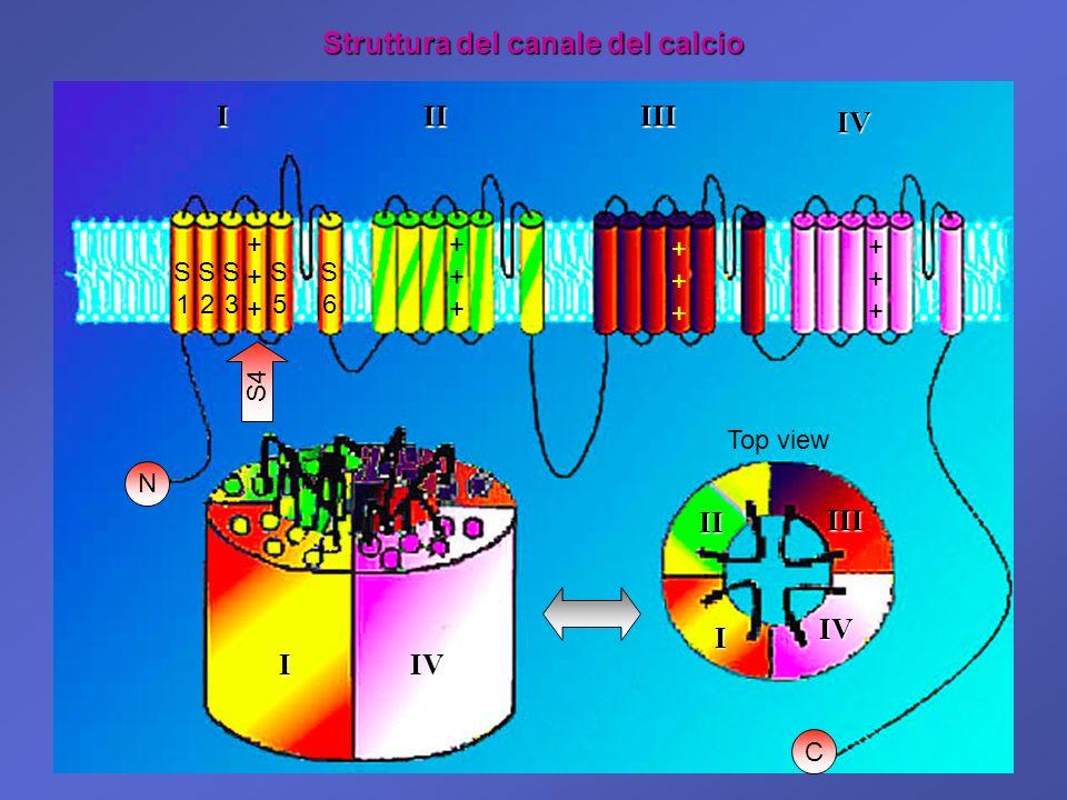 ++++++ Struttura del canale del calcio I I IIIII IV S1S1 S2S2 S3S3 S5S5 S6S6 I II III IV IV S4 ++++++ ++++++ ++++++ N C Top view