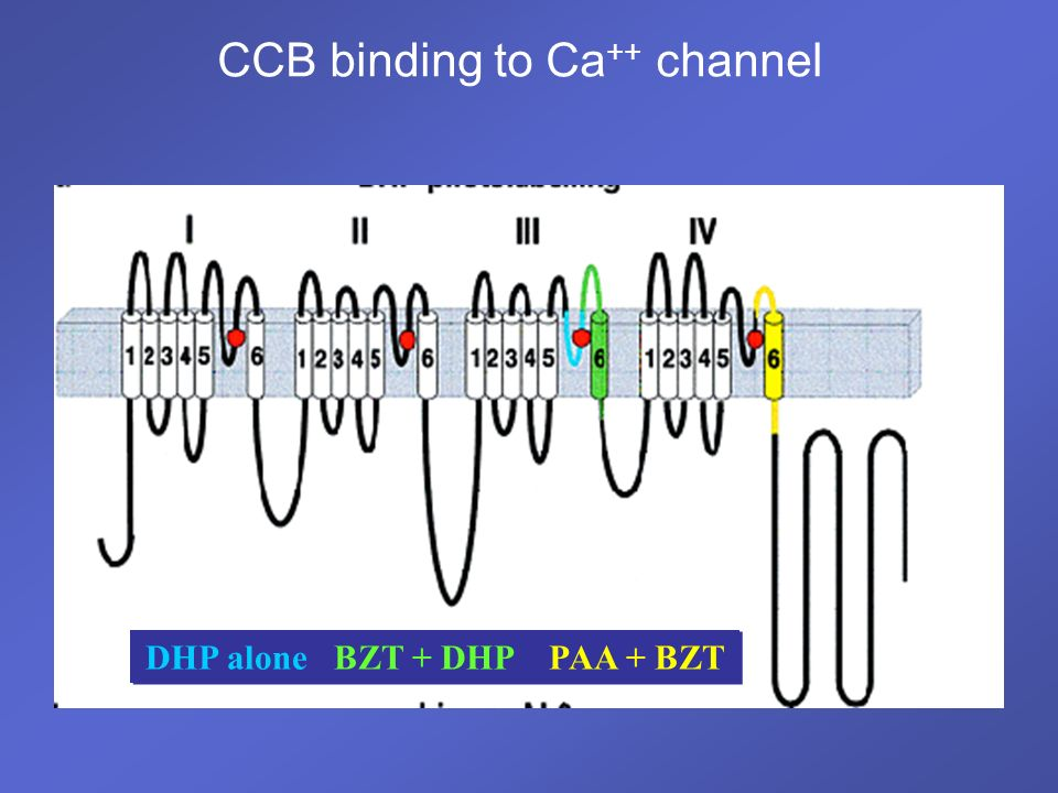 CCB binding to Ca ++ channel DHP alone BZT + DHP PAA + BZT