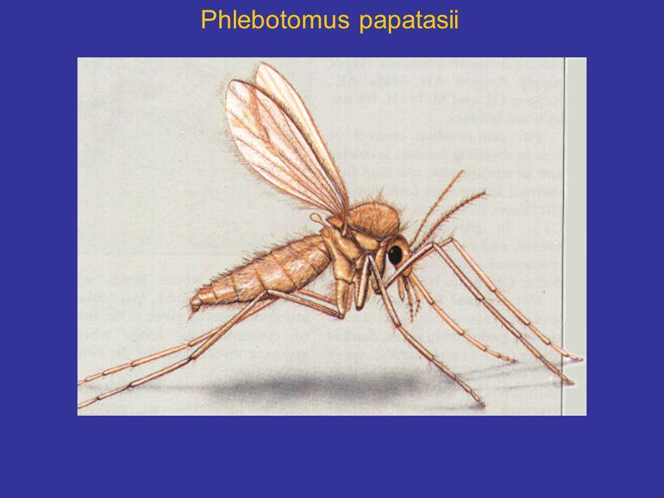 Phlebotomus papatasii