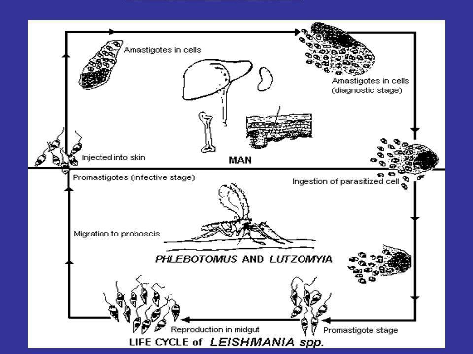 LEISHMANIOSI VISCERALE ASPETTI CLINICI Incubazione 1-8 mesi Febbre 100% Perdita peso 70% Tosse secca 30% Dolori addominali 30% Turbe dispeptiche 30% Diarrea 10% Epatomegalia 75% Splenomegalia 90% Linfoadenomegalia 40% BRYCESON 1996