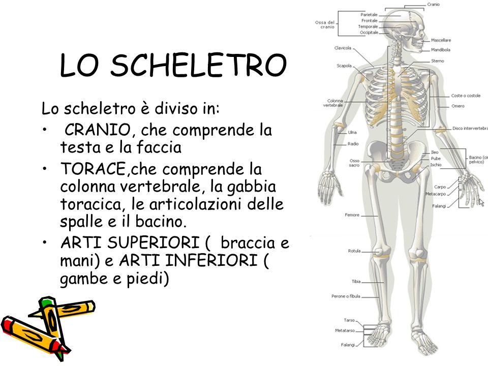 LO SCHELETRO Lo scheletro è diviso in: CRANIO, che comprende la testa e la faccia TORACE,che comprende la colonna vertebrale, la gabbia toracica, le a
